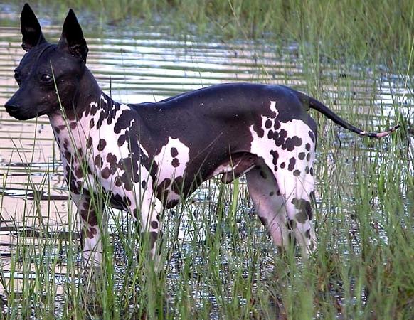 Amerikaanse naakthond