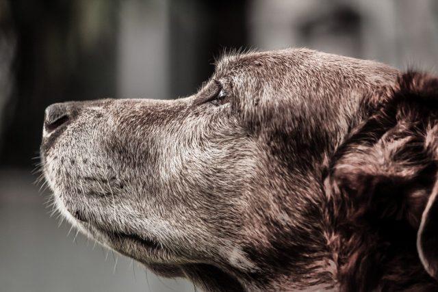 Dementie bij oude honden