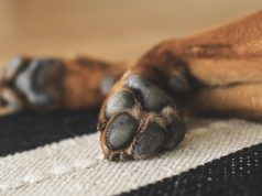 Elleboogdysplasie bij honden