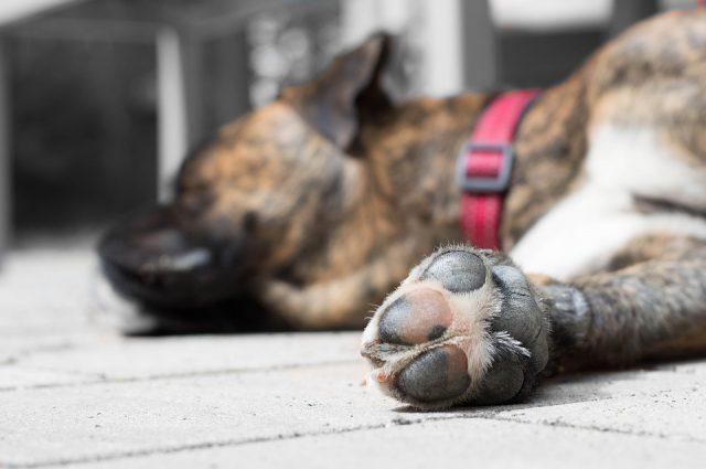 Heupdysplasie bij honden