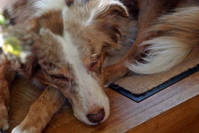 Nierfalen bij honden