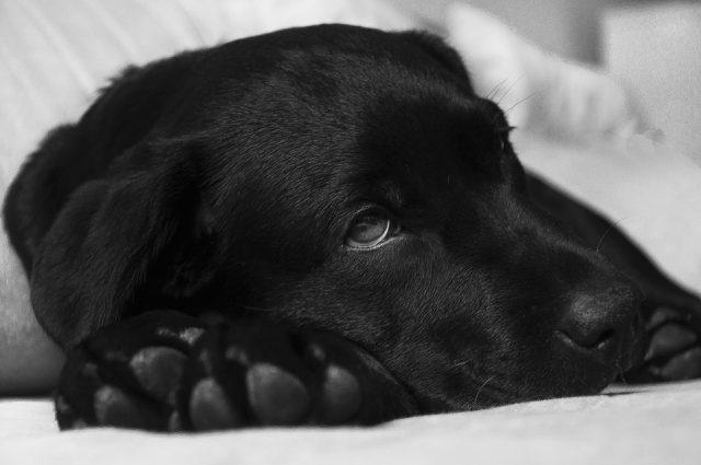 autoimmuunziekte hond
