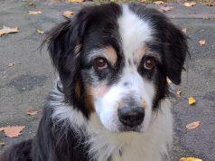 ectropion ogen hond