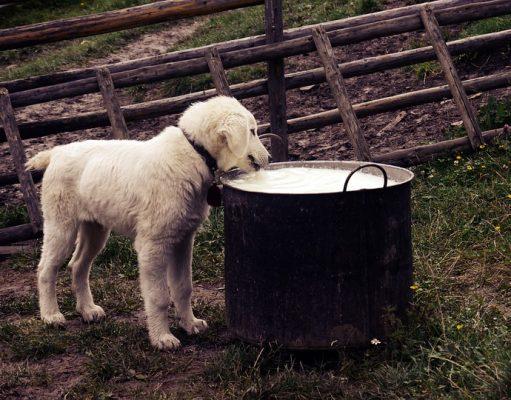 hond drinkt melk