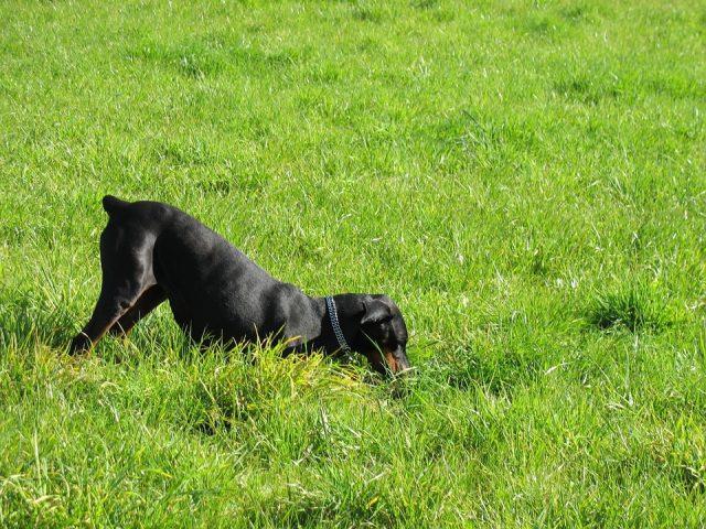 graven hond