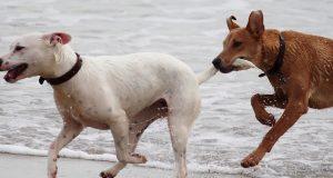 honden staart jagen