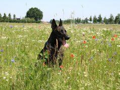 Hollandse herder