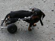 Hernia hond
